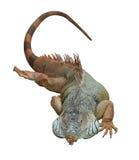 Το ζωηρόχρωμο iguana βρίσκεται στο στομάχι της Απομονωμένος στο λευκό Στοκ Φωτογραφίες