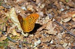 Το ζωηρόχρωμο paphia Linnaeus, 1758 Argynnis πεταλούδων στον κάρδο ανθίζει στο φυσικό πάρκο Val δ ` Aveto - Λιγυρία - Ι Στοκ εικόνες με δικαίωμα ελεύθερης χρήσης