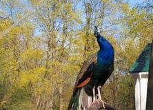Το ζωηρόχρωμο peacock κάθεται στον κλάδο στο ζωολογικό κήπο πάρκων στοκ φωτογραφία με δικαίωμα ελεύθερης χρήσης