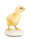 το ζωικό κοτόπουλο απομό Στοκ φωτογραφία με δικαίωμα ελεύθερης χρήσης