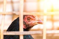 Το ζώο κοτόπουλου στο κλουβί Στοκ Εικόνες