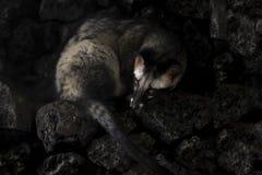 Το ζώο που χρησιμοποιείται για την παραγωγή του ακριβού πιό γαστρονομικού cof Στοκ Εικόνες