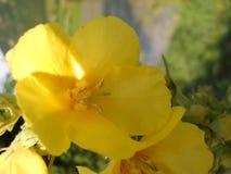 το ηλιακό λουλούδι Oenothera Bennis στοκ εικόνες με δικαίωμα ελεύθερης χρήσης