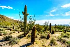 Το ημι τοπίο ερήμων του πάρκου Reginal βουνών Usery με πολλούς κάκτους Saguaru, Cholla και βαρελιών Στοκ Εικόνες