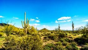 Το ημι τοπίο ερήμων του πάρκου Reginal βουνών Usery με πολλούς κάκτους Saguaru, Cholla και βαρελιών Στοκ Φωτογραφία