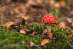 Το δηλητήριο ξεφυτρώνει δάσος φθινοπώρου Στοκ φωτογραφίες με δικαίωμα ελεύθερης χρήσης
