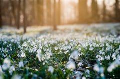 Το ηλιοφώτιστο δασικό σύνολο του snowdrop ανθίζει την άνοιξη την εποχή Στοκ Εικόνα