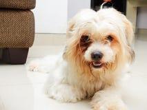 Το θαμνώδες μαλλιαρό σκυλί θέτει Στοκ Εικόνα