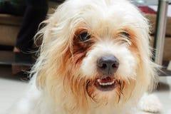 Το θαμνώδες μαλλιαρό σκυλί θέτει Στοκ Φωτογραφίες