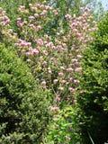 Το θαυμάσιο λουλούδι του ρόδινου magnolia είναι ορατό μεταξύ των θάμνων του αειθαλούς πυξαριού στοκ εικόνες με δικαίωμα ελεύθερης χρήσης