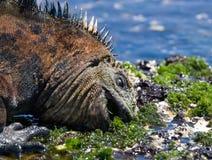 Το θαλάσσιο iguana που τρώει το φύκι galapagos νησιά ωκεάνιος ειρηνικός Ισημερινός στοκ φωτογραφίες