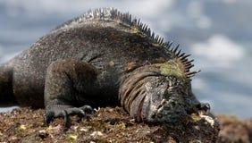 Το θαλάσσιο iguana που τρώει το φύκι galapagos νησιά ωκεάνιος ειρηνικός Ισημερινός στοκ φωτογραφία με δικαίωμα ελεύθερης χρήσης