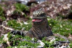 Το θαλάσσιο iguana που τρώει το φύκι galapagos νησιά ωκεάνιος ειρηνικός Ισημερινός στοκ εικόνα
