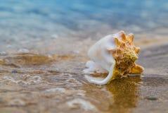 Το θαλασσινό κοχύλι στην άμμο της παραλίας στον ήλιο, υπόβαθρο, κλείνει επάνω Στοκ εικόνες με δικαίωμα ελεύθερης χρήσης