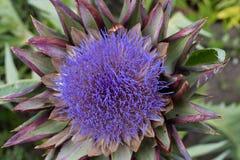 Το θεαματικό κεφάλι λουλουδιών της αγκινάρας σφαιρών στοκ φωτογραφίες
