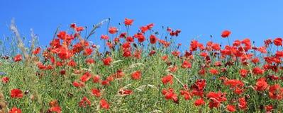 Το θερινό τοπίο με τις παπαρούνες πεδίων σίτου ανθίζει, μπλε ουρανός στοκ φωτογραφία με δικαίωμα ελεύθερης χρήσης
