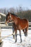 Το θερμό άλογο κόλπων αίματος που στέκεται το χειμώνα συγκεντρώνει την αγροτική σκηνή Στοκ Εικόνες