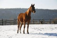 Το θερμό άλογο κόλπων αίματος που στέκεται το χειμώνα συγκεντρώνει την αγροτική σκηνή Στοκ Φωτογραφία