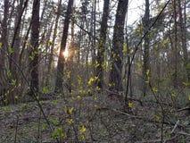 Το θερμό βράδυ, ήλιος λάμπει μέσω των κλάδων των δέντρων και backlights των πολυάριθμων πρασινωπών νέων φύλλων στοκ εικόνες
