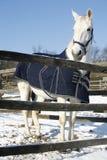 Το θερμό γκρίζο άλογο αίματος που στέκεται το χειμώνα συγκεντρώνει την αγροτική σκηνή στοκ εικόνες