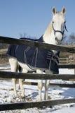 Το θερμό καθαρής φυλής άλογο αίματος που στέκεται το χειμώνα συγκεντρώνει την αγροτική σκηνή στοκ εικόνες
