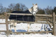 Το θερμό καθαρής φυλής άλογο αίματος που στέκεται το χειμώνα συγκεντρώνει την αγροτική σκηνή στοκ εικόνα