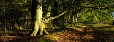 Το θερμό φως του ήλιου βραδιού φθινοπώρου στα δέντρα λεωφόρων ο φ οξιών στο νότο κατεβάζει το εθνικό πάρκο, UK στοκ φωτογραφία με δικαίωμα ελεύθερης χρήσης