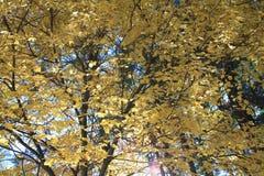 Το θερμό φύλλωμα φθινοπώρου αφήνει την κίτρινη ουσία Στοκ εικόνα με δικαίωμα ελεύθερης χρήσης