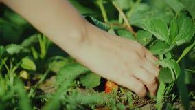 Το θηλυκό μαδά με το χέρι τις juicy φράουλες απόθεμα βίντεο