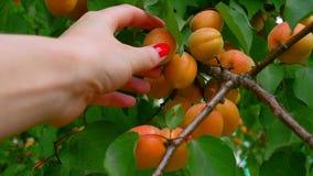 Το θηλυκό μαδά με το χέρι ώριμα φρούτα από το δέντρο βερικοκιών Κινηματογράφηση σε πρώτο πλάνο ενός χεριού και ενός δέντρου απόθεμα βίντεο