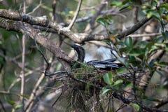 Το θηλυκό πουλί Anhinga αποκαλούμενο anhinga Anhinga κάνει μια φωλιά Στοκ Εικόνες