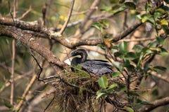 Το θηλυκό πουλί Anhinga αποκαλούμενο anhinga Anhinga κάνει μια φωλιά Στοκ εικόνες με δικαίωμα ελεύθερης χρήσης