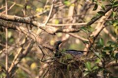 Το θηλυκό πουλί Anhinga αποκαλούμενο anhinga Anhinga κάνει μια φωλιά Στοκ εικόνα με δικαίωμα ελεύθερης χρήσης