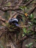 Το θηλυκό πουλί Anhinga αποκαλούμενο anhinga Anhinga κάνει μια φωλιά Στοκ Φωτογραφία