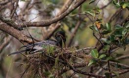 Το θηλυκό πουλί Anhinga αποκαλούμενο anhinga Anhinga κάνει μια φωλιά Στοκ φωτογραφίες με δικαίωμα ελεύθερης χρήσης