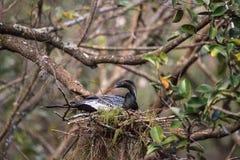 Το θηλυκό πουλί Anhinga αποκαλούμενο anhinga Anhinga κάνει μια φωλιά Στοκ Εικόνα