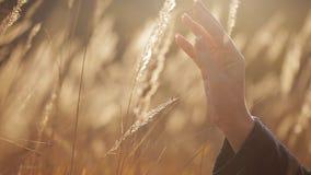 Το θηλυκό χέρι αγγίζει το σπόρο χλόης στο ηλιοβασίλεμα απόθεμα βίντεο