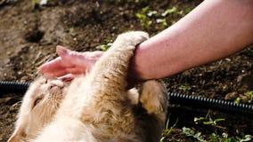 Το θηλυκό χέρι κατευνάζει τη δαγκώνοντας γάτα, μπεζ χνουδωτή γάτα wallows στη λάσπη και basks στον ήλιο, σε αργή κίνηση απόθεμα βίντεο
