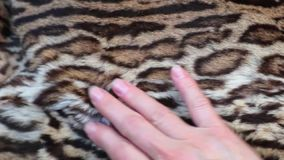 Το θηλυκό χέρι κτυπά μια όμορφη γούνα λεοπαρδάλεων, πολυτελής αφηρημένη φυσική ζωτικότητα, κλείνει επάνω σε αργή κίνηση απόθεμα βίντεο