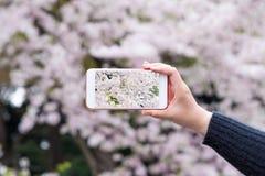 Το θηλυκό χέρι παίρνει το άνθος κερασιών ανοίξεων φωτογραφιών ή το πάρκο Sakura Στοκ Εικόνα