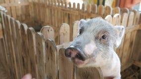 Το θηλυκό χέρι φέρνει τα τρόφιμα για ένα μικρό χοιρίδιο σε έναν ζωολογικό κήπο ή ένα αγρόκτημα επαφών απόθεμα βίντεο