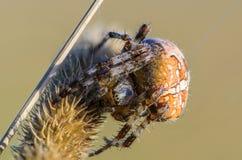 Το θηλυκό araneus αραχνών Στοκ Εικόνες