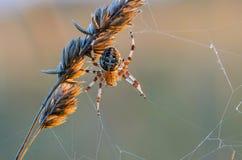 Το θηλυκό Araneus Στοκ φωτογραφία με δικαίωμα ελεύθερης χρήσης