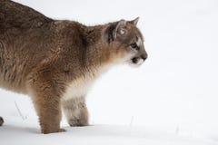 Το θηλυκό concolor Cougar Puma κοιτάζει δεξιά Στοκ Εικόνα