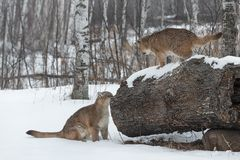 Το θηλυκό concolor Cougars Puma ερευνά το κούτσουρο στοκ εικόνες
