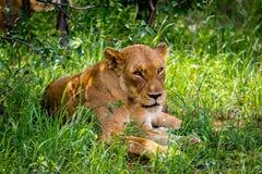 Το θηλυκό leo Panthera λιονταριών Στοκ Φωτογραφίες