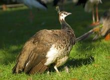 το θηλυκό peacock Στοκ εικόνα με δικαίωμα ελεύθερης χρήσης