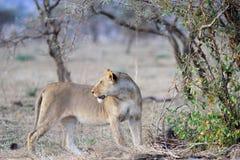 Το θηλυκό ενός λιονταριού Στοκ φωτογραφία με δικαίωμα ελεύθερης χρήσης