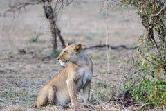 Το θηλυκό ενός λιονταριού Στοκ Φωτογραφίες