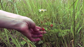 Το θηλυκό μαδά με το χέρι τις φράουλες μούρων στο λιβάδι απόθεμα βίντεο